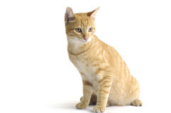 Cat. Nice red cat   on white background Stock Photo
