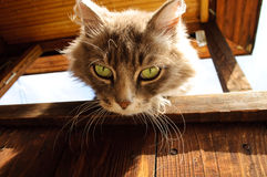 Cat. Gray cat gazing from the top Royalty Free Stock Photo