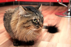 Cat. The fluffy cat sits on a floor Royalty Free Stock Image