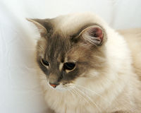 Cat. A close up of a cat on a white background Royalty Free Stock Photos