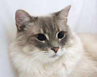 Cat. A close up of a cat on a white background Stock Photo
