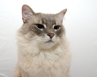 Cat. A close up of a cat on a white background Stock Photos