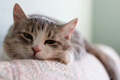 The cat. Dozes on a sofa Royalty Free Stock Photo