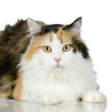 Cat. In front of a white background Royalty Free Stock Image