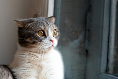 A Cat. Looking our of the window Stock Photography