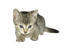 Cat. Young cat isolated, white background Royalty Free Stock Photos