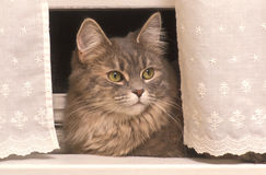Cat. In Window With Lace Curtains Royalty Free Stock Photos