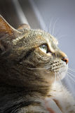 Cat. Beautiful cat in profile looking into sunlight Stock Image
