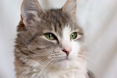 Cat. Close-up of grey cat with green eyes Royalty Free Stock Photos