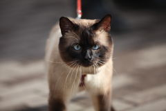 Cat. The cat with blue eyes Royalty Free Stock Photo
