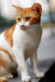Cat. A white and orange cat is staring Royalty Free Stock Image
