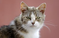 Cat, Royalty Free Stock Photography