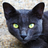 Cat. Korat domestic cat the amber eyes cat  looking at camera Stock Photography