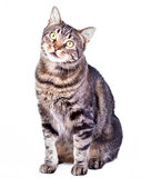 Cat. Tabby cat on white background royalty free stock image