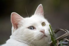 Cat. With different colour eyes Stock Images