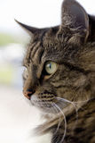 Cat. The syberian tom cat face Royalty Free Stock Photo