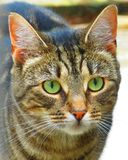 Cat. Detailed picture of a cat with big green eyes Royalty Free Stock Photos