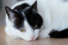 Cat. Quietly rests, it is relaxed Royalty Free Stock Photo