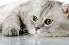 Cat. Fluffy gray beautiful adult cat, breed scottish-fold, very  close up  portrait Stock Images
