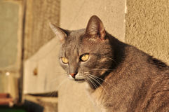 A cat. The look of a cat, with focus on his eyes stock photography