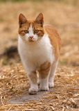 Cat. Cute isolated  brown and white cat Royalty Free Stock Photography