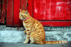 Cat. A cute cat sitting by the red door Stock Photography