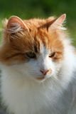 Cat. Close up.  in the evening sun Royalty Free Stock Photos