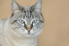 Cat. Gray Cat Royalty Free Stock Photography