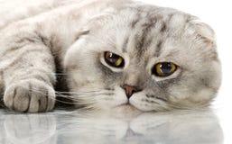 Cat. Fluffy gray beautiful adult cat, breed scottish-fold, very  close up  portrait Stock Photography