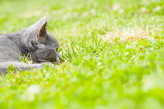 Cat. Young grey kitten lying in the garden on fresh green grass Royalty Free Stock Image