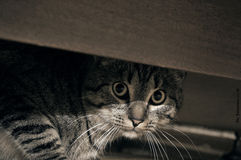 Cat. Frightened cat looks out from under the table Royalty Free Stock Photography