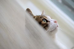 Cat. With green eyes waiting between curtains Royalty Free Stock Images