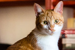 Red Cat. A young red cat looking in camera Stock Photo