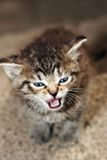 Cat. Tabby kitten meowing on the stairs calling my mom with small focus stock photo