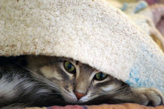 Cat. The cat under the blanket Stock Image