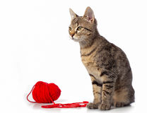 Cat. Tabby kitten playing red clew Stock Photos