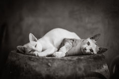 Cat. In black and white Royalty Free Stock Photo