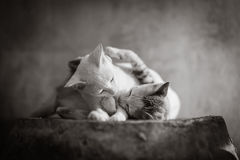 Cat. In black and white Stock Photography