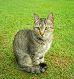 Cat. A cat sitting on grass Royalty Free Stock Photography