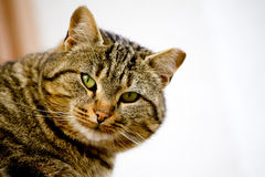 Cat Royalty Free Stock Image