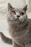 Cat. Grey British short-haired cat Royalty Free Stock Photos