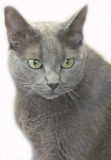 Cat 3. Portrait of gray cat stock photography