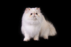 Cat 3. White cat with blue eyes over black Stock Image