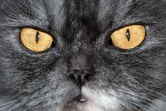 Cat. Yellow cat's eyes photografed clouse-up Royalty Free Stock Photos