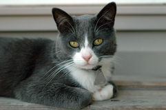 Cat. Grey and white domestic cat laying on step Royalty Free Stock Photography
