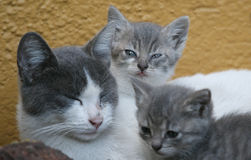 Cat. Family stock image
