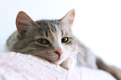 Cat. Close-up portrait of adorable cat lays on sofa Stock Photography
