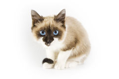 Cat. Young cat with blue eyes stock photo