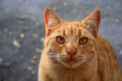 Cat. An orange fat cat starring at the camera Royalty Free Stock Photography