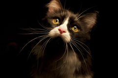 Cat. Black and white cat in low key Royalty Free Stock Photo